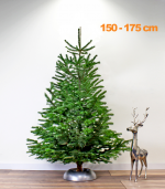 nordmann-echte-kerstboom-150-175