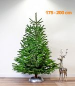 nordmann-echte-kerstboom-175-200
